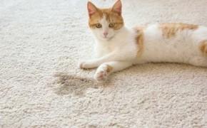 Чем вывести запах кошачьей мочи с ковра